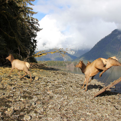 West Coast Roosevelt Elk Augmentation and Recovery Project